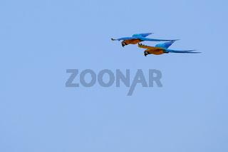 Flying Blue And Yellow Macaw parrot, Ara Ararauna, palm lagoon Lagoa das Araras, Bom Jardim, Nobres, Mato Grosso, Brazil