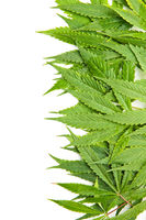 Green cannabis leaves.