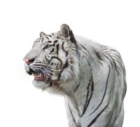 White tiger portrait  on white background