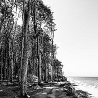 Gespensterwald und Ostseestrand in Nienhagen, Ostseeküste, in schwarzweiß