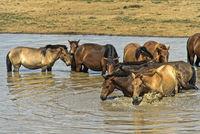 Eine Herde Pferde sucht Abkühlung in einem Tümpel, Ulaanshiveet, Provinz Bulgan, Mongolei