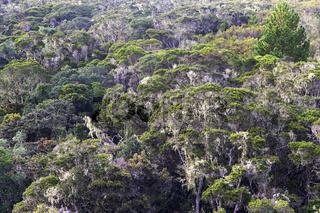 Immergrüner Bergregenwald mit von Flechten bedeckten Bäumen, Anjozorobe Nationalpark, Madagaskar