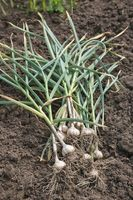 Freshly Picked Garlic Bulbs on a Soil