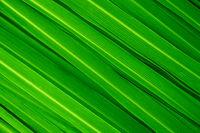 Lemongrass leaves background