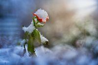 Ringelblume mit Schneehaube