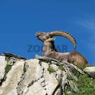 Lying alpine ibex scratching his back with his horns