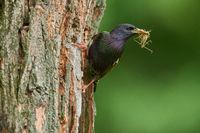 Star am Nest mit Heuschrecke als Beute