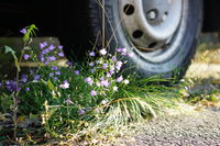 violett flowers