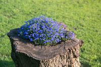 Lobelia on a tree stump