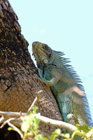 Green Iguana, Iguana Iguana, also known as the American Iguana, Pantanal, Porto Jofre, Mato Grosso, Brazil