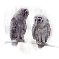 Two Barred Owlets perched on a Branch