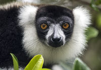 Schwarzweißer Vari (Lemur varecia variegata)