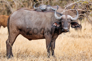 Afrikanischer Bueffel, South Luangwa Nationalpark, Sambia, (Syncerus caffer) | african buffalo, South Luangwa National Park, Zambia, (Syncerus caffer)