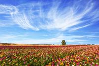 Field of flowering garden buttercups