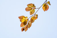 Twig with young beech leaves in spring