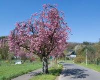 Kirschbluete im Fruehling im Bergischen Land in Solingen,Nordrhein-Westfalen,Deutschland