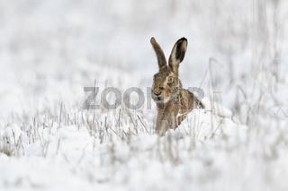 versteckt hinter Halmen... Feldhase * Lepus europaeus * im Schnee mit neugierigem Blick