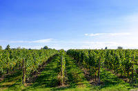 typical vineyard in northern Italy Trentino