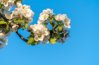 Spring blossoms of blooming apple tree in springtime. А flower of apple tree, close-up shot.