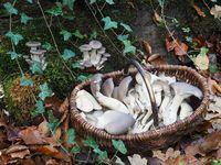 Austernseitlinge im Korb am Wuchsort