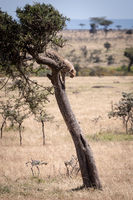 Cheetah cub stands in tree staring down