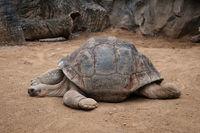 huge galapagos tortoise, giant turtle lying on floor