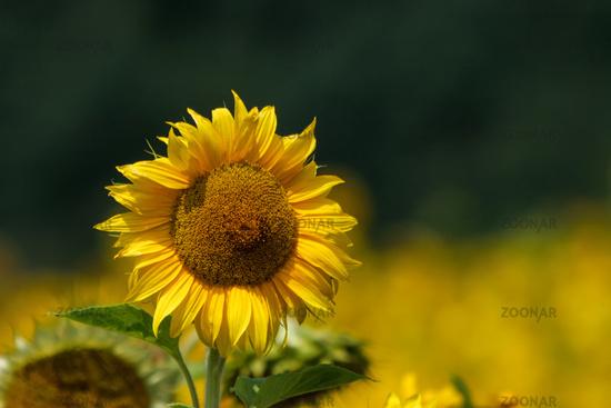 Sonnenblume (Helianthus annuus)