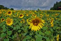Sonnenblumenfeld, Sunflowers, Heliantuhus annuus