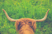 Highland Cow Horns