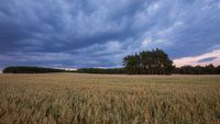 Beautiful summer sunset landscape with oat field. Idyllic summer fields.