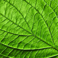 Green leaf. Detailed macro photo as a natural layout for your ideas. Flat lay