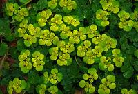 Wechselblaettriges Milzkraut, Chrysosplenium alternifolium