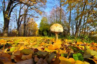 Russbrauner Parasol MACROLEPIOTA FULIGINOSA - MACROLEPIOTA FULIGINOSA, a variety from Parasol mushroom