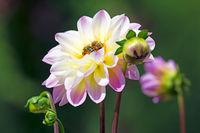 Bees at a dahlia flower blossom