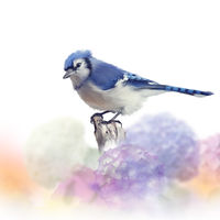 Blue jay in Flower garden,watercolor painting