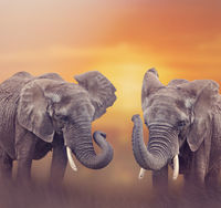 African Elephants in the grassland
