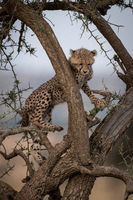 Cheetah cub stands in branches of tree