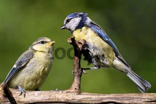 Blaumeise mit Ästling