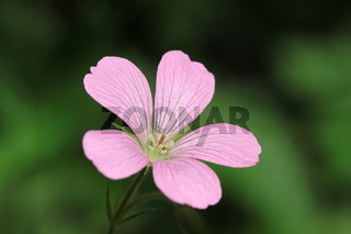 Allium triquentrum