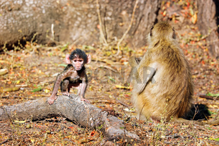 Steppenpaviane, South Luangwa Nationalpark, Sambia, (papio cynocephalus)   baboons, South Luangwa National Park, Zambia, (papio cynocephalus)