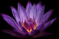 Purple Water Lily II