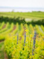 Weingarten im Frühling am Neusiedlersee