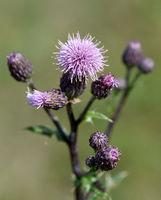 Acker-Kratzdistel, Cirsium arvense