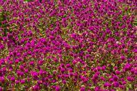 Pink gomphrena globular