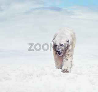 Polar bear walking on snow