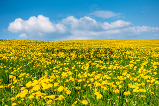 a beautiful yellow dandelion meadow