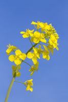Macro photo of yellow rapeseed flower in blue sky