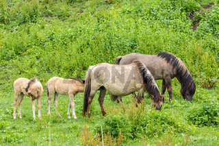 wild horse foals and adults grazing in sunny open meadow