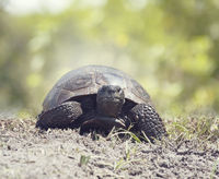 Gopher Tortoise walking