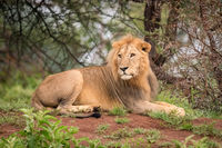 Male lion lying in woods turning head